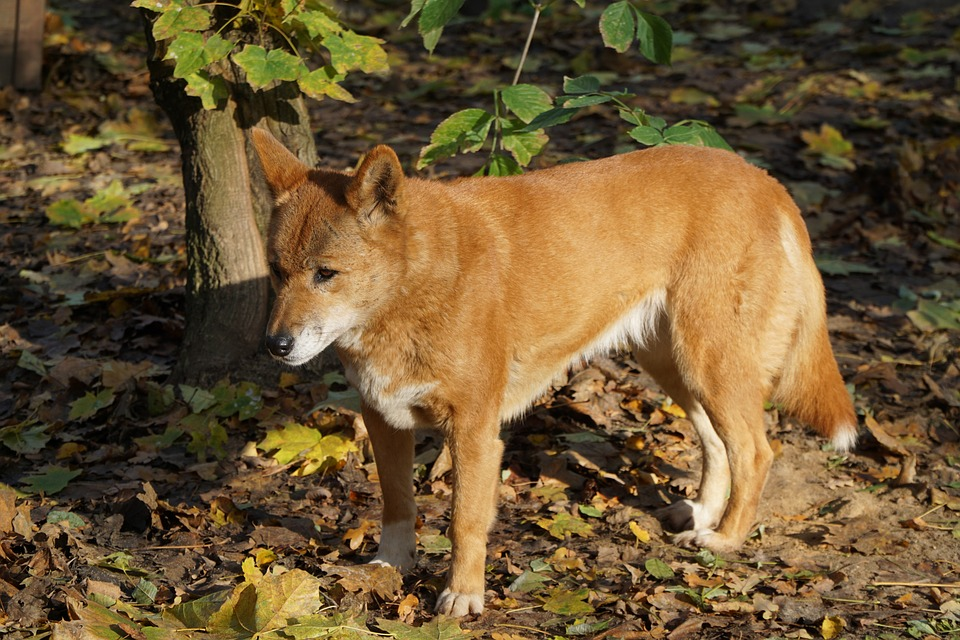 Mine Worker Seriously Injured By Dingo Attack