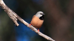 Adani's Black Throated Finch management plan has been signed off